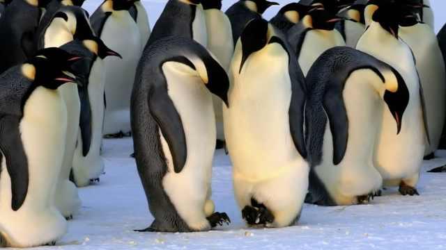 专家:2100年帝企鹅数量或减少80%