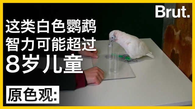 这类白色鹦鹉,智力或超8岁儿童