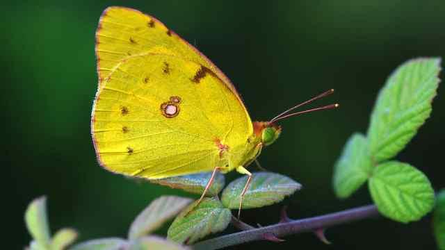毛毛虫到底是怎么破茧成蝶的?