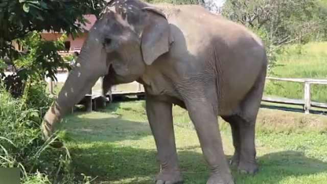 摆脱枷锁!泰77头大象解开脚链生活