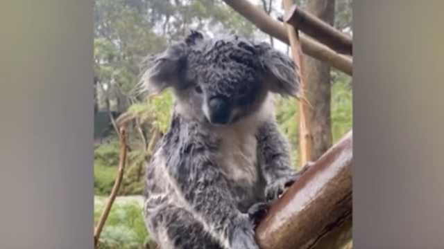 大雨淹了澳洲动物园,考拉被雨淋了