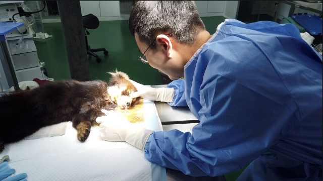 医生轻抚术后小熊猫:减轻它的疼痛