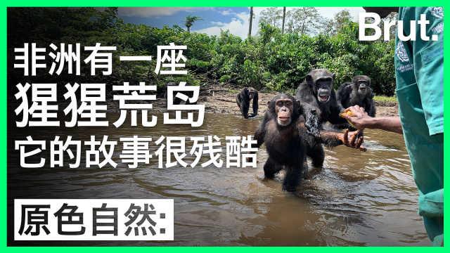非洲有座猩猩荒岛,它的故事很残酷