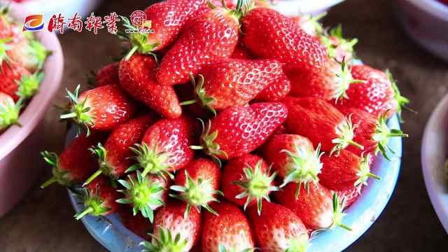 """春耕进行时(二):""""绿色通道""""打开草莓新销路"""