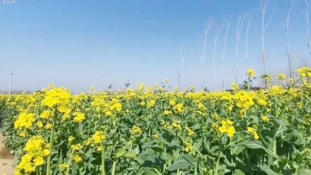 油菜花绽放,遍地金黄不负春光