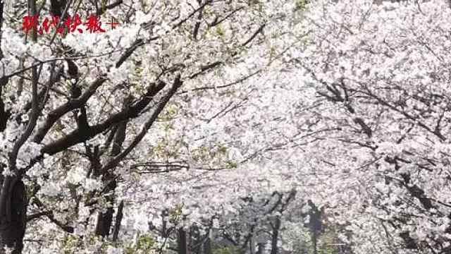 鸡鸣寺路樱花大道预约游览,首个周六近9000人打卡