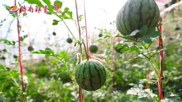 春耕进行时(三):瓜长苗旺产业兴,黄河边的西瓜小镇