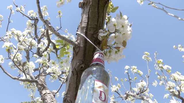 云南万亩梨花怒放,枝头挂满啤酒瓶,竟为招蜂引蝶