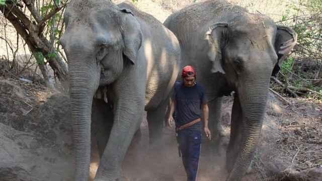 疫情期泰国旅游业收入锐减,上千头大象将失业挨饿