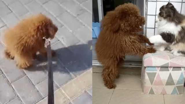 狗狗患罕见疾病身体无法长大:内脏挤压在一起,腿与脖子相连