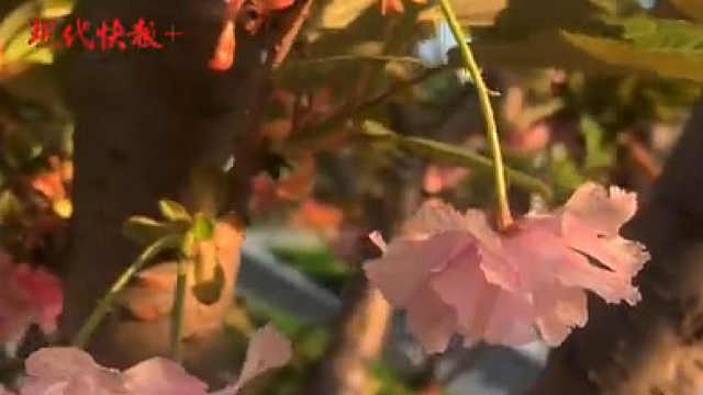 夹道晚樱迎风盛开!南京这些路被一片绯红承包了
