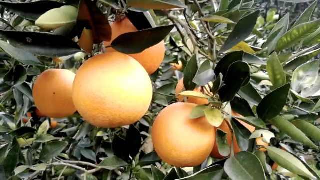 四季有鲜橙!难以复制的橙子原产地:长江边独有的小气候