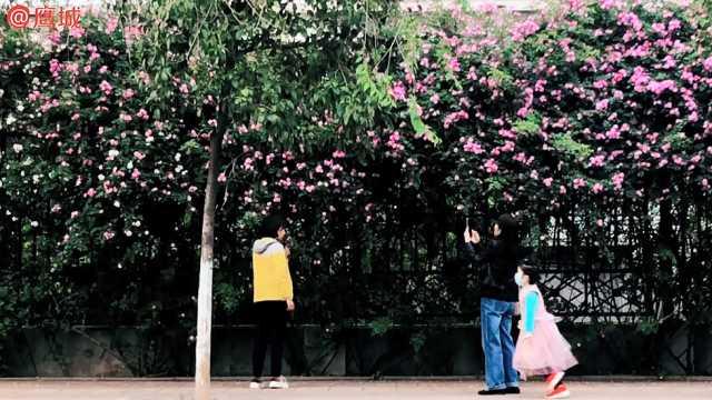 这里的蔷薇花开!随手一拍就是大片