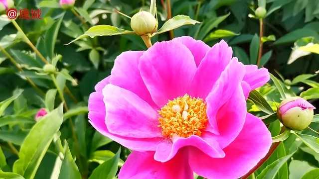鲁山仓头乡万亩芍药花开了,姹紫嫣红,艳丽无比!
