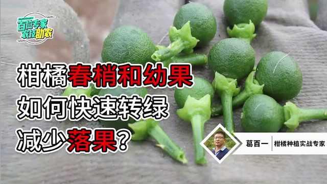 柑橘春梢和幼果如何快速转绿,减少落果?