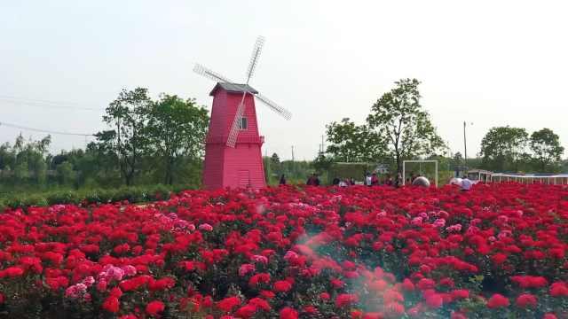 南京浦口都市圈最美花园:玫瑰花海见证幸福