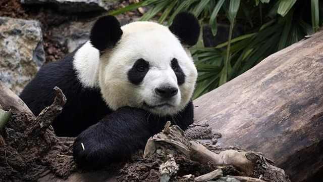 旅加大熊猫吃不到鲜竹将提前归国,动物园:因疫情待这里危险
