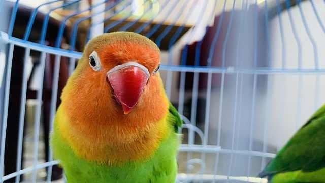 鹦鹉为什么能学人说话?