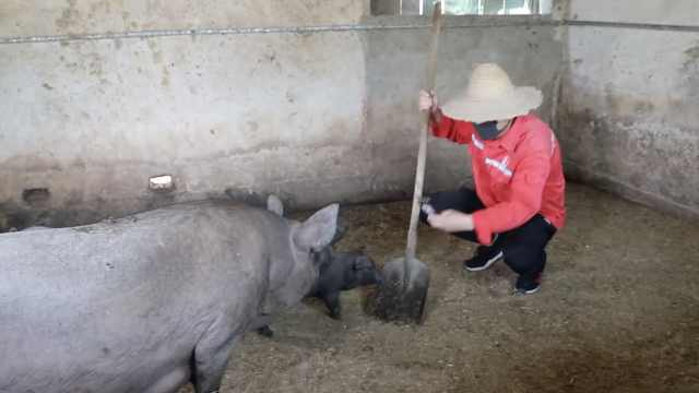 小伙辞百万高薪回乡养猪:想多陪家人,猪下崽的时候最开心
