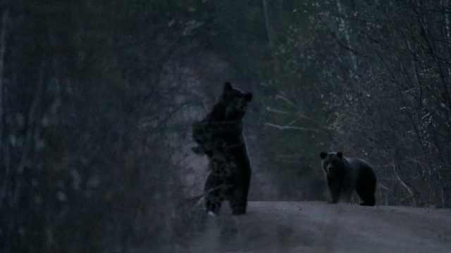 棕熊母子频频造访管护站,管护员:不用请就来,拿自己不当外人