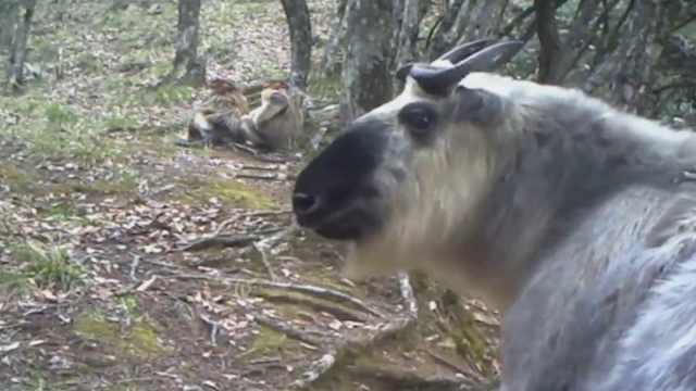 红外相机拍到金丝猴与羚牛罕见同框,工作人员:环境变好了