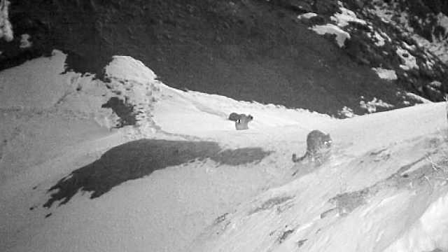 新疆西天山首次拍到四只雪豹同框:卧地嬉戏打闹