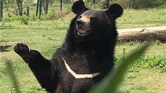 """8岁黑熊爱站立""""跳舞"""",憨态可掬成""""网红"""""""