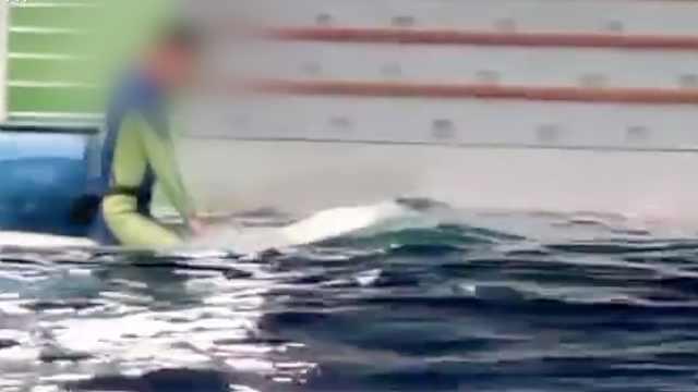 饲养员骑白鲸遭网友质疑虐待动物,海洋馆回应