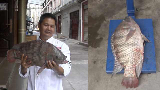 男子澜沧江钓起特大野生罗非鱼,长61cm厚12cm,最后1锅炖了
