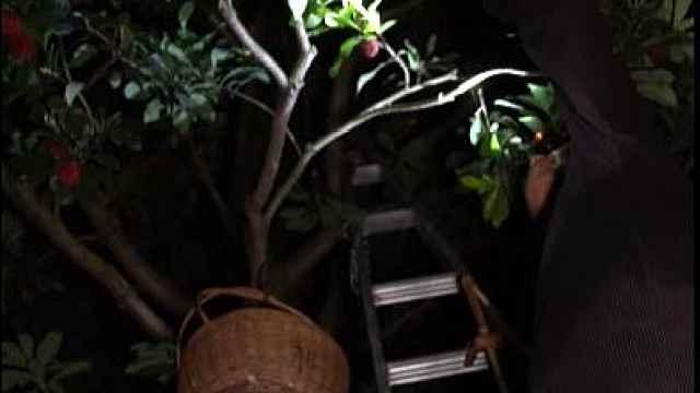 老梅农摘杨梅手被磨烂:种了13年,采摘季凌晨1点起床干活