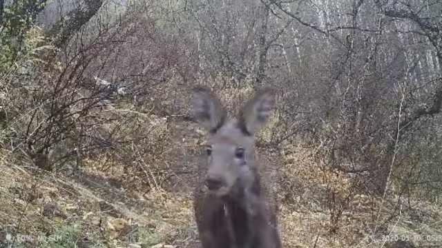 大兴安岭连续2年发现野生原麝,与首次拍到的为同一只