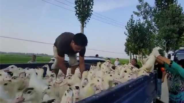 王家坝时隔13年开闸泄洪,养殖户与水赛跑转移万只鸭子