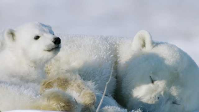 全球变暖致冰层减少难以觅食,研究称北极熊或在本世纪末灭绝