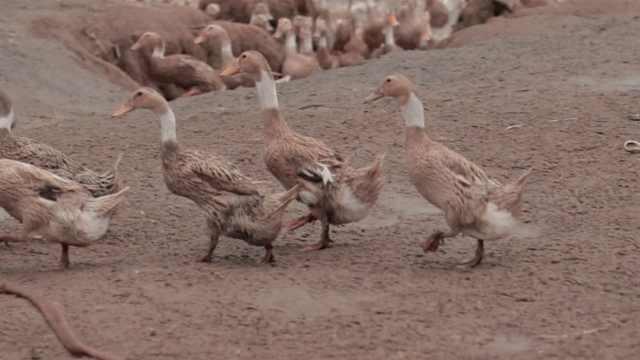 两千多只鸭子被洪水冲走,养殖户:继续养,多做几年弥补损失