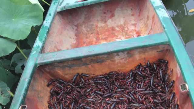 村民种2千亩藕田养龙虾:今年价格降半,每亩损