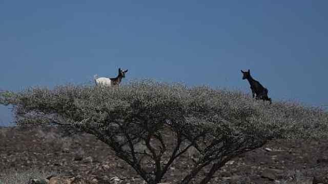 这里的羊真的会上树!