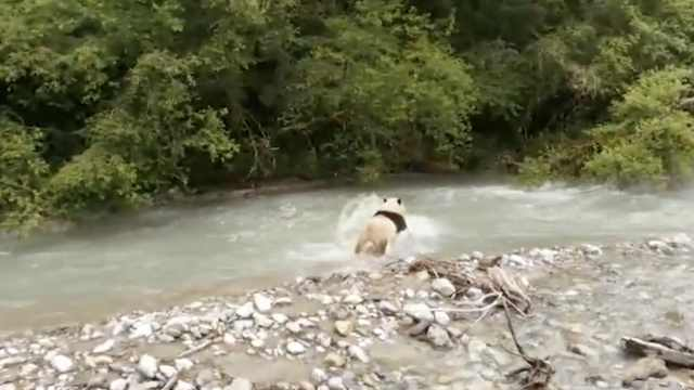 乘风破浪的滚滚!大熊猫横穿公路去洗澡,不惧四脚兽围观
