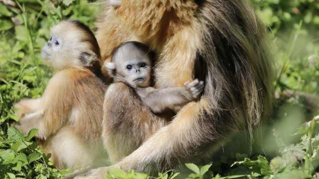 湖北神农架喜添今年第9只金丝猴宝宝,猴妈妈形影不离抱怀中