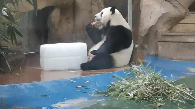 真是国宝级待遇!动物园熊猫吹空调抱冰块啃,
