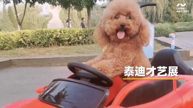 滚篮球、滑板车、开玩具车……这只泰迪才艺十