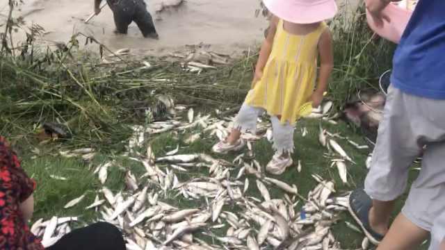 四川沱江鱼群壮观跃出水,近百市民冒险捕鱼,数十斤带回家