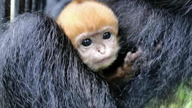"""珍稀黑叶猴生下金色宝宝,饲养员拍vlog记录""""黑化""""过程"""