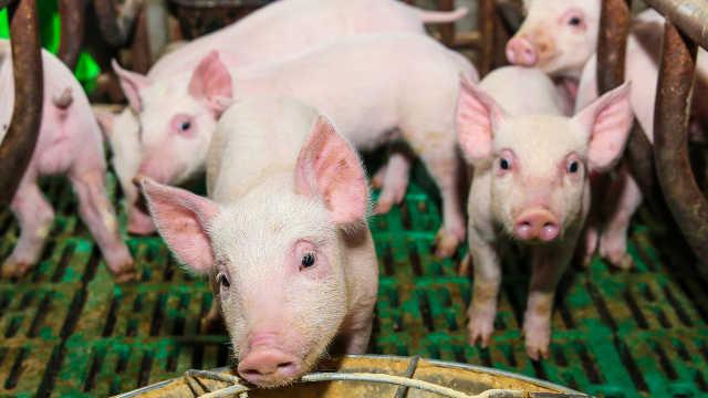 新希望回应猪肉价格可能跌到四五块:逻辑经不起推敲