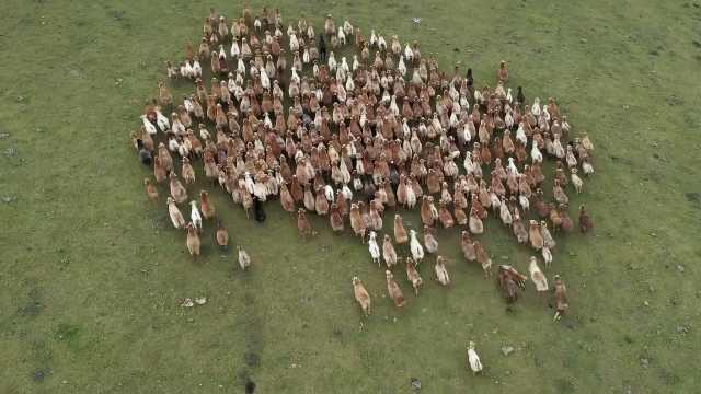 航拍新疆70万头牲畜转场大迁徙:浩浩荡荡绵延数公里