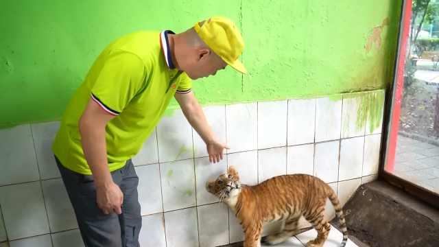 全球唯一虎狮虎兽宝宝度过了危险期!