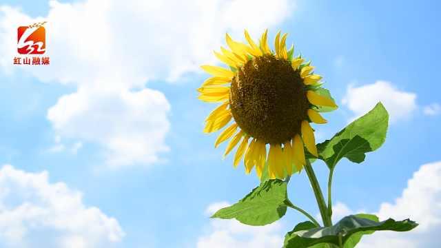 万亩葵花向日倾,金色花海迎客来