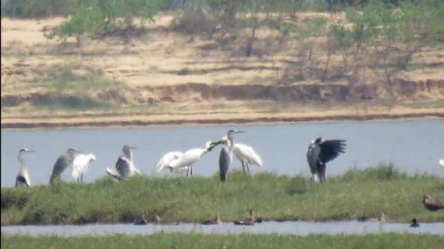 鄱阳湖迎来首批越冬候鸟白琵鹭,比去年早11天
