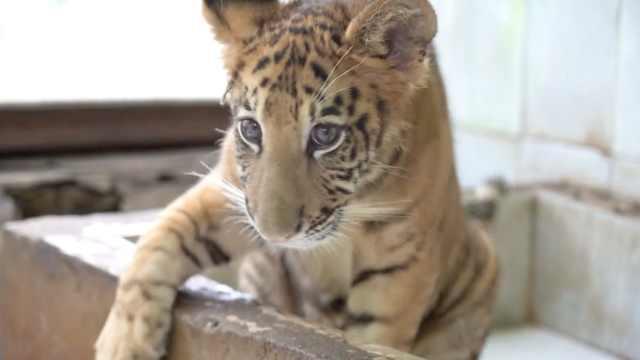 世界唯一狮虎兽满百天:已度过危险期,每天吃3斤牛肉