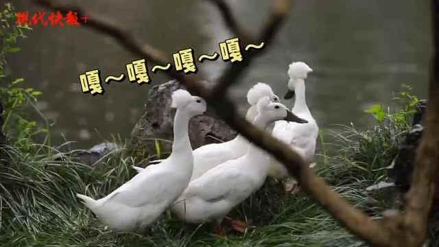 """颜值超高的""""凤头鸭""""来到南京总统府,美到南京人都不舍得吃"""