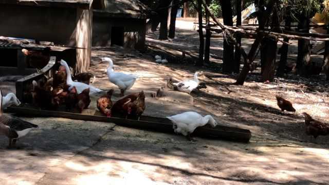 游客吐槽临汾动物园土鸡猪仔凑数,园方:城里小孩没见过